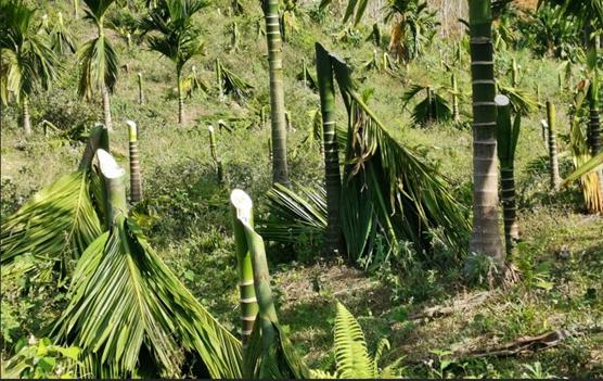 屯昌一村民种植的千余株槟榔被拦腰砍 损失近80万元